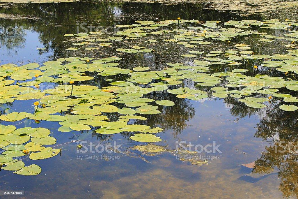 Yellow water flowers ( Nuphar Lutea ) stock photo