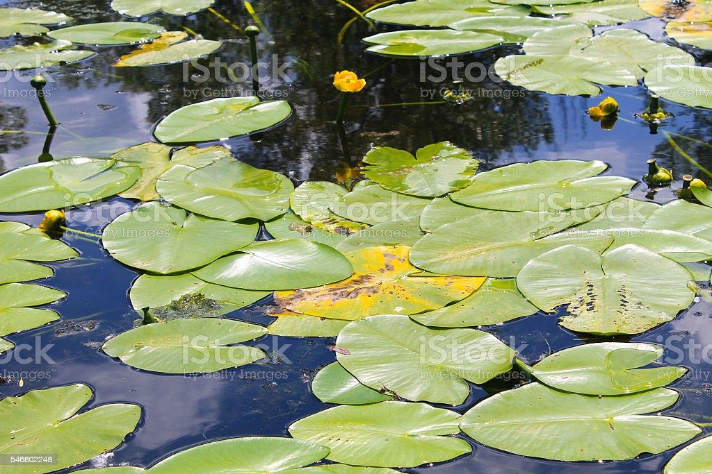 Yellow water flowers (Nuphar Lutea) stock photo