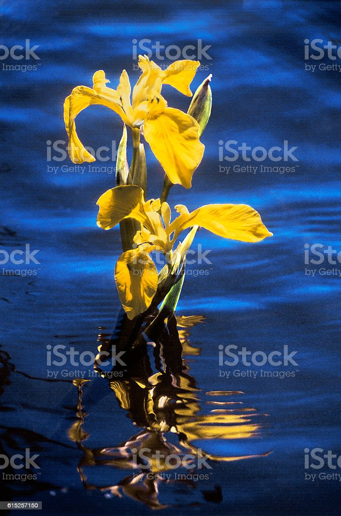Yellow Water Iris flower on  South of Russia. Astrakhan region stock photo