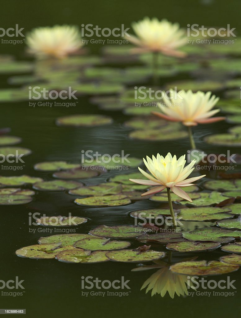 yellow water lilies on a dark lake royalty-free stock photo