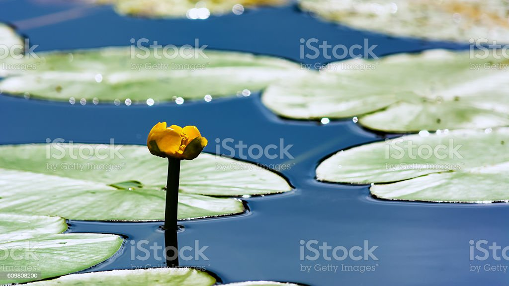 Yellow water lily growing in pond stock photo