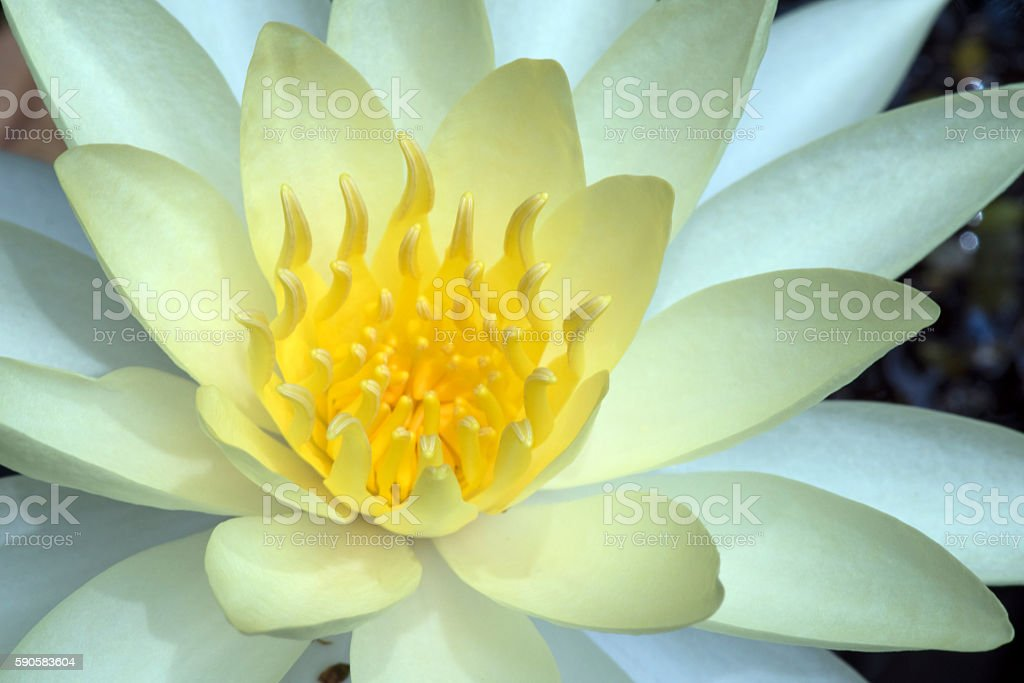 Yellow water lily or Mexican waterlily stock photo