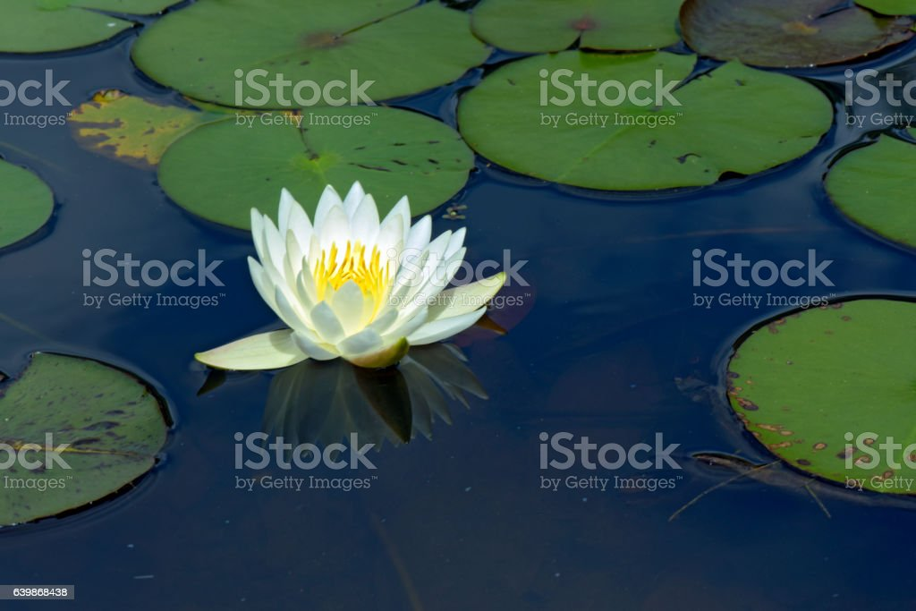 Yellow water lily over blue and green lake stock photo