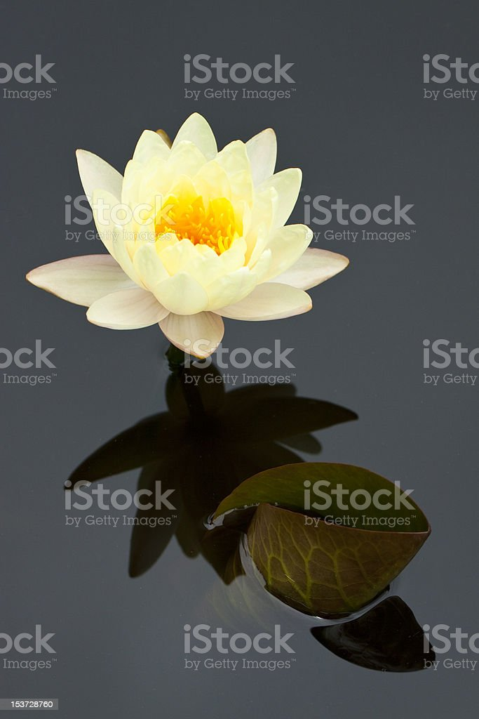 Yellow water lily royalty-free stock photo