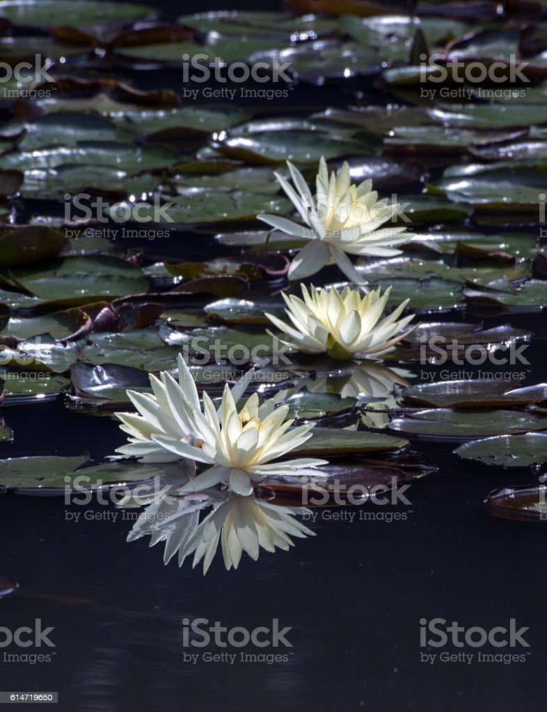 Yellow water lily stock photo