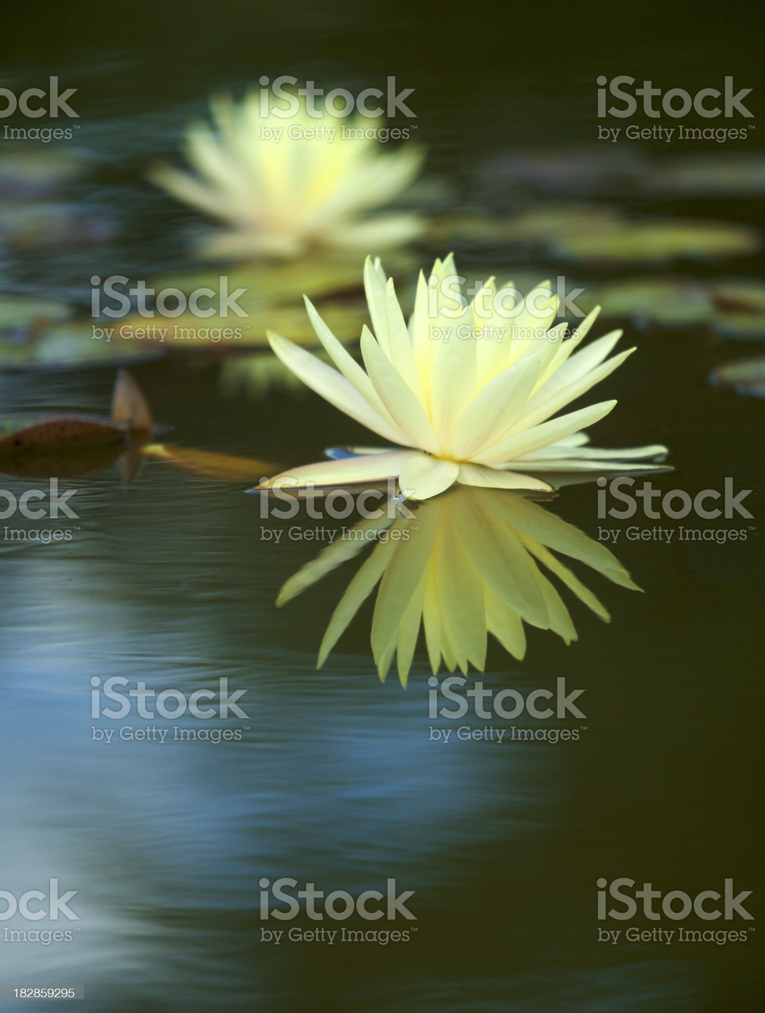 yellow water lily reflections royalty-free stock photo