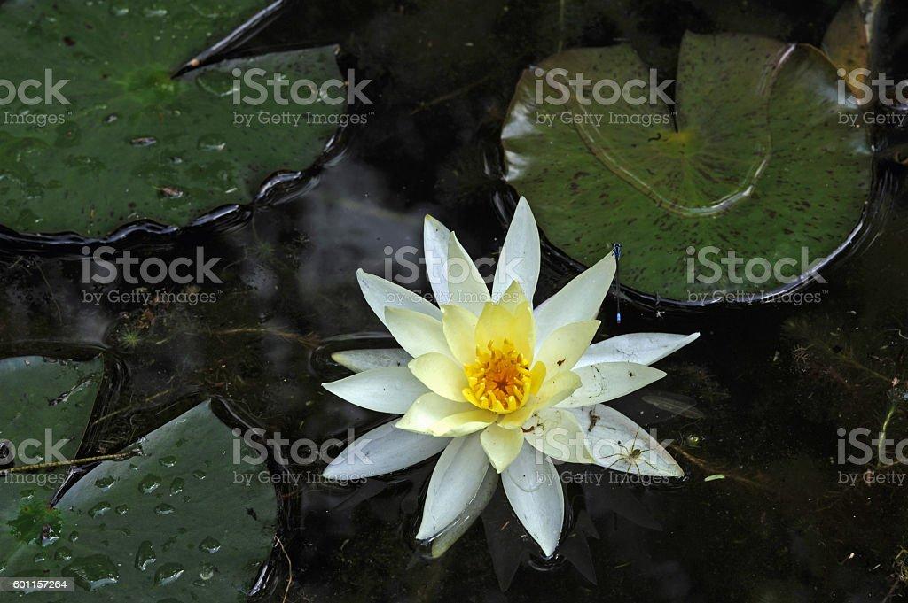 Yellow waterlily in the dark lagoon stock photo