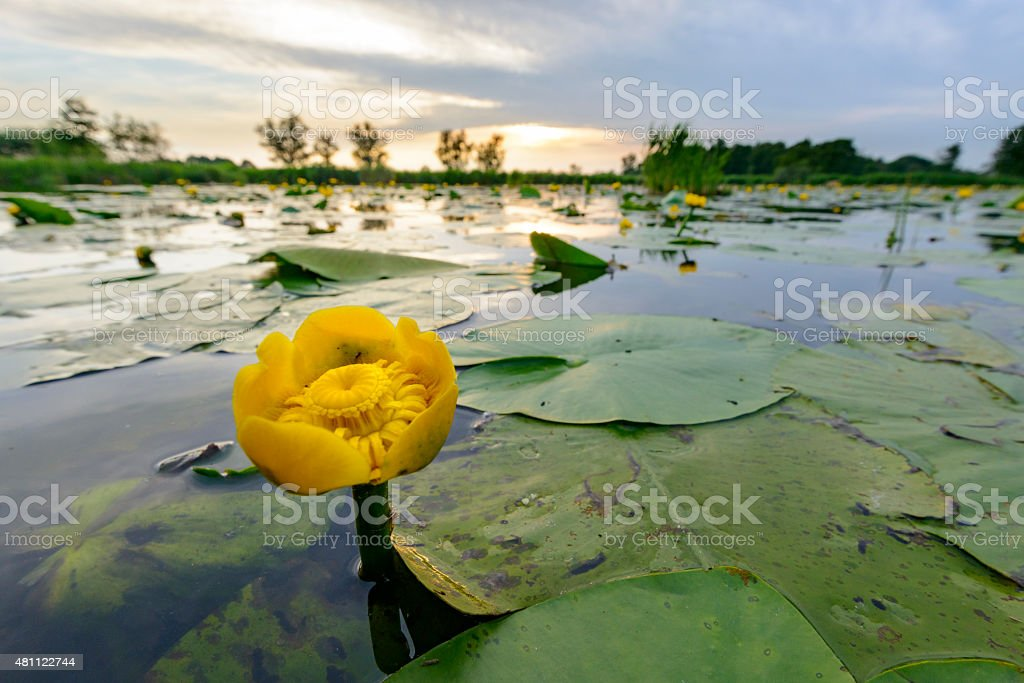 Yellow Water-lily or Brandy-Bottle in a nature reserve stock photo