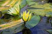 yellow waterlily or lotus flower blooming on pond