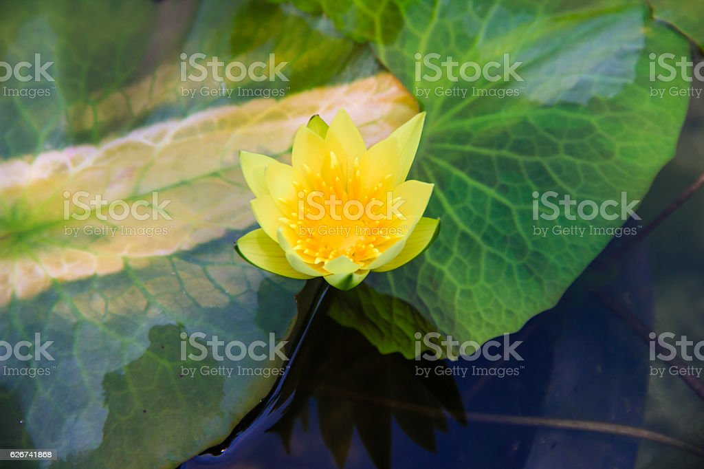 yellow waterlily or lotus flower blooming on pond stock photo