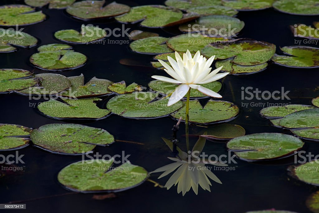 Yellow waterlily or Mexican waterlily stock photo