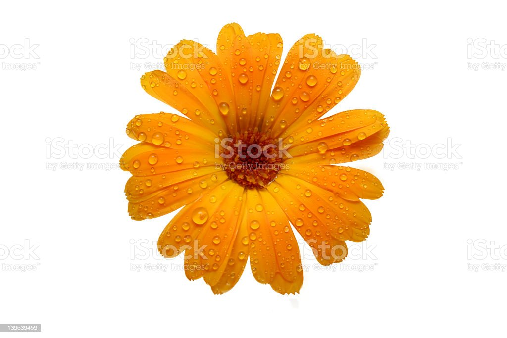yellow wet gerber daisy over white royalty-free stock photo