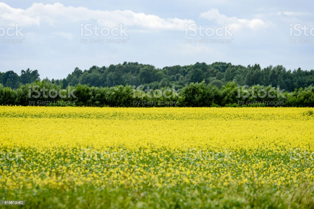 Yellow wheat field close up macro photograph stock photo