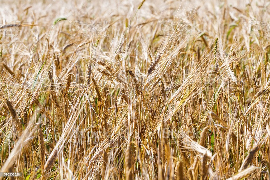 Yellow wheat field. Natural background, countryside scenery stock photo