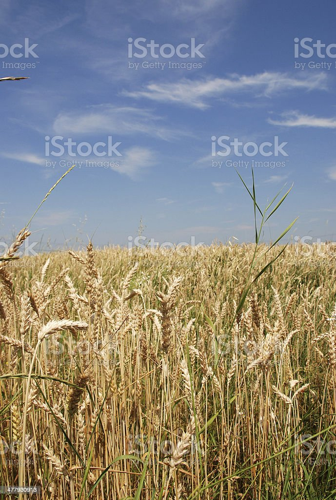 yellow wheat field royalty-free stock photo