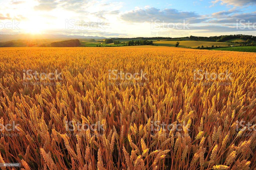 Yellow Wheat Fields at Sunset stock photo