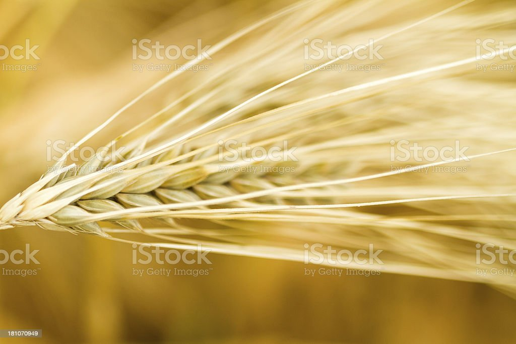 Yellow wheat with stalk by grain royalty-free stock photo