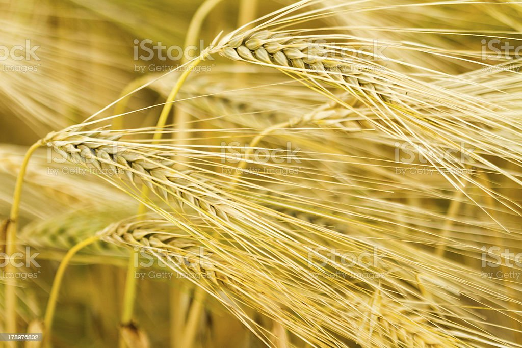 Yellow wheats with stalks by grains royalty-free stock photo