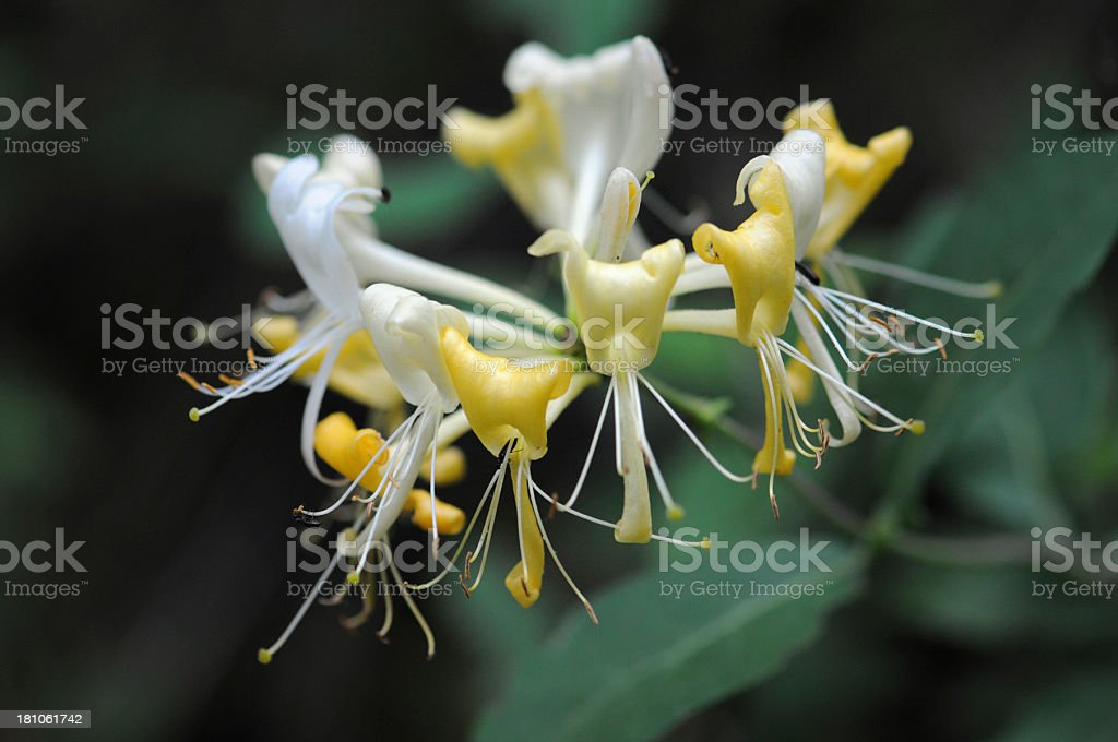 yellow white Honeysuckle (Temperate Flower) - Geissblatt stock photo
