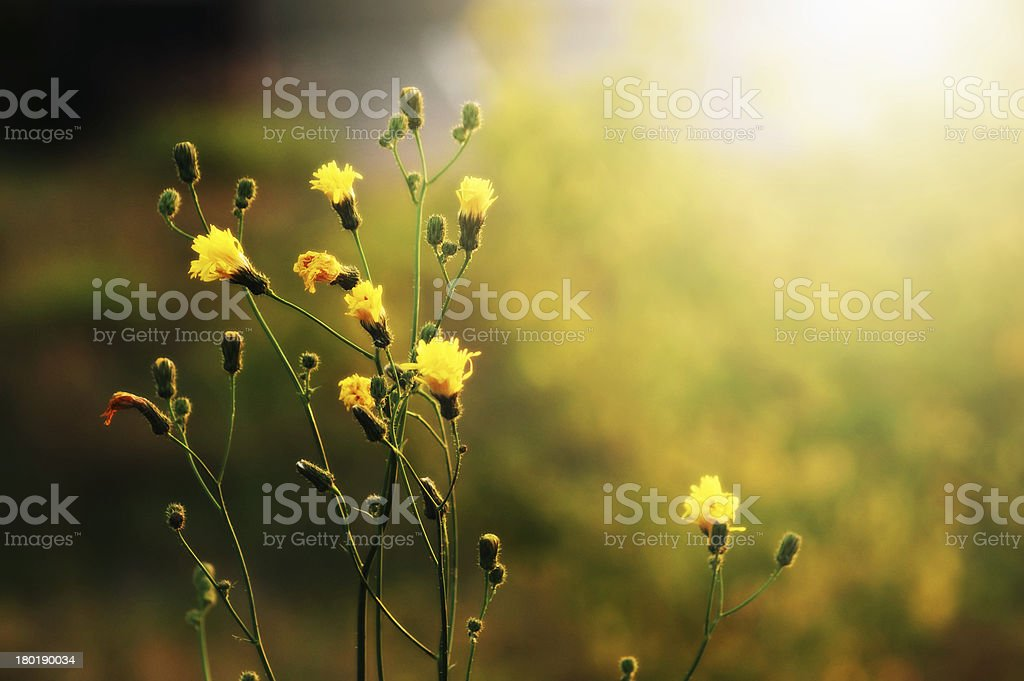 Yellow Wild flower in Morning glow royalty-free stock photo