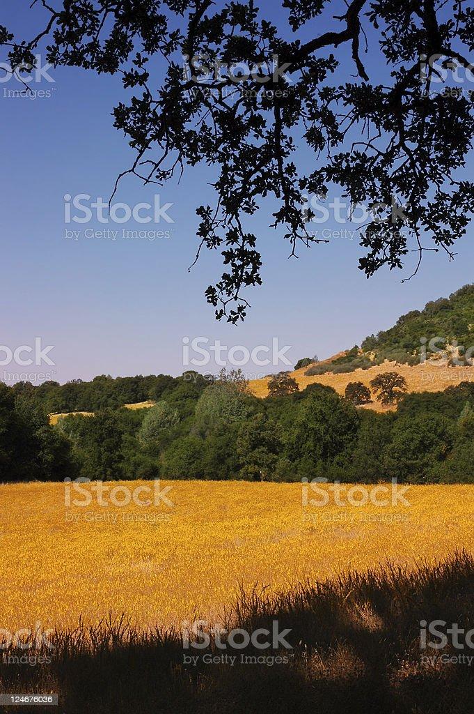 Yellow Wild Flower Meadow stock photo