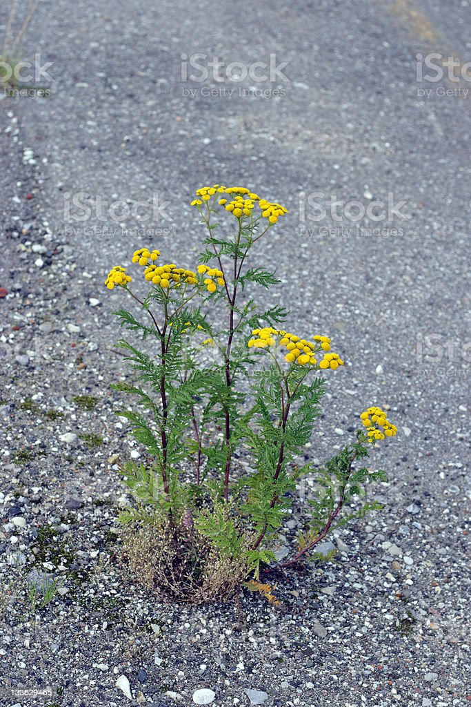 Yellow wild flower, Tansy (Tanacetum vulgare). stock photo