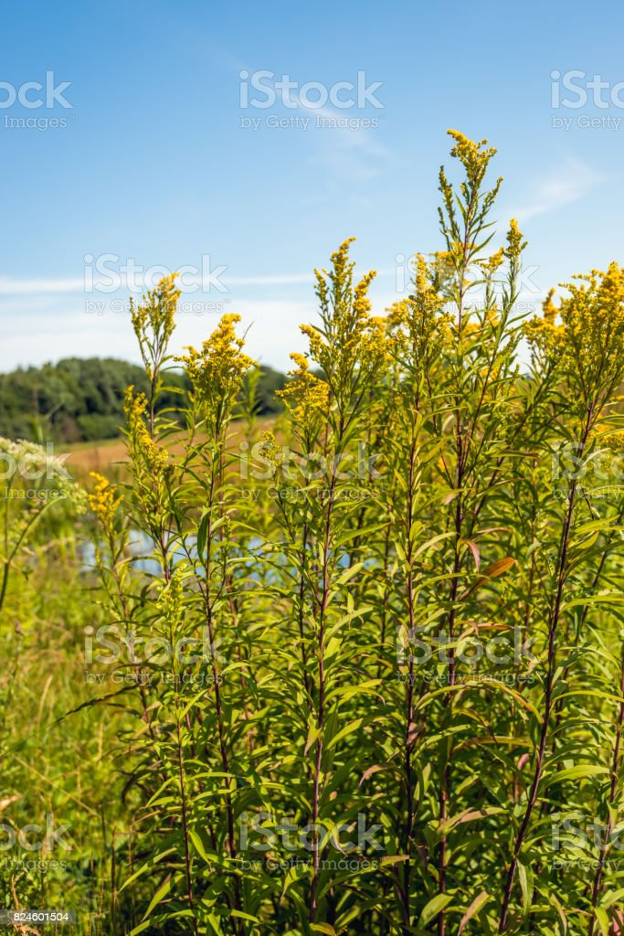 Yellow wild flowering Goldenrod plants from close stock photo