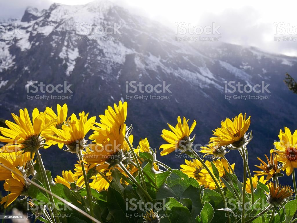 Yellow Wild Flowers, Mountains, Snow, Blue Sky and Clouds. stock photo