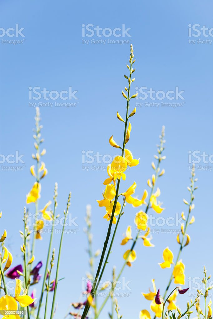 baras de flores silvestres de color amarillo stock photo