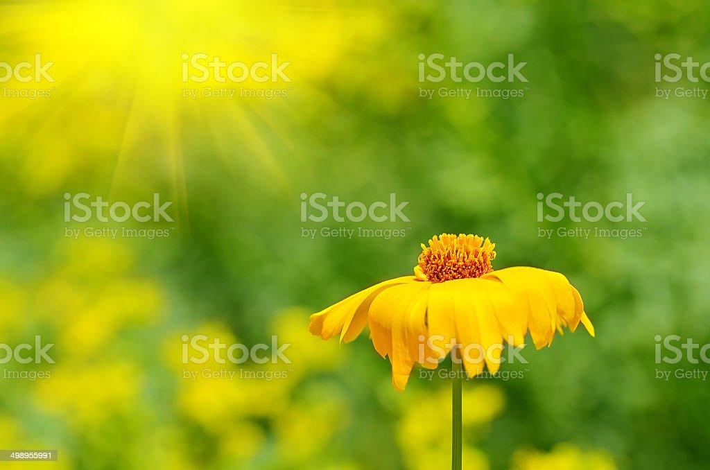 Yellow wildflower bloom in the garden stock photo