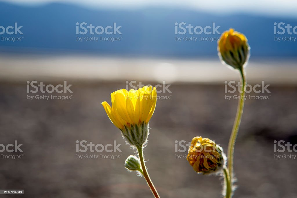 Yellow Wildflower, daisy, blooming stock photo