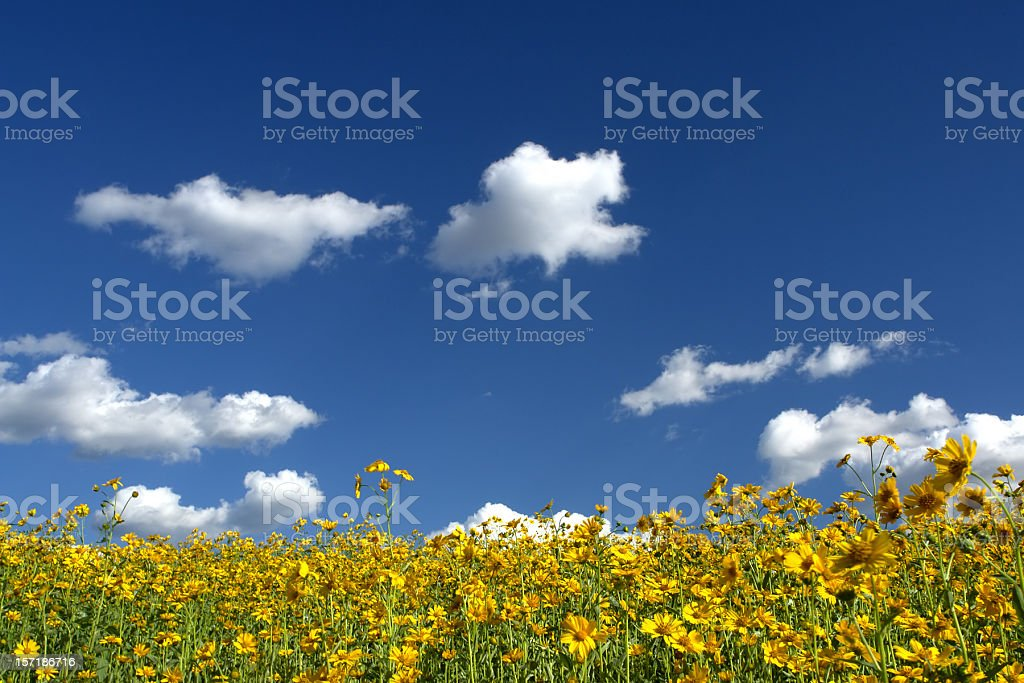 yellow wildflower meadow landscape and puffy clouds in blue sky royalty-free stock photo