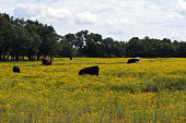 Yellow Wildflowers and Cows