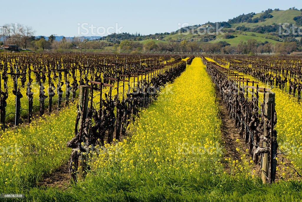 Yellow Wildflowers and Vineyards Alexander Valley Sonoma County California stock photo