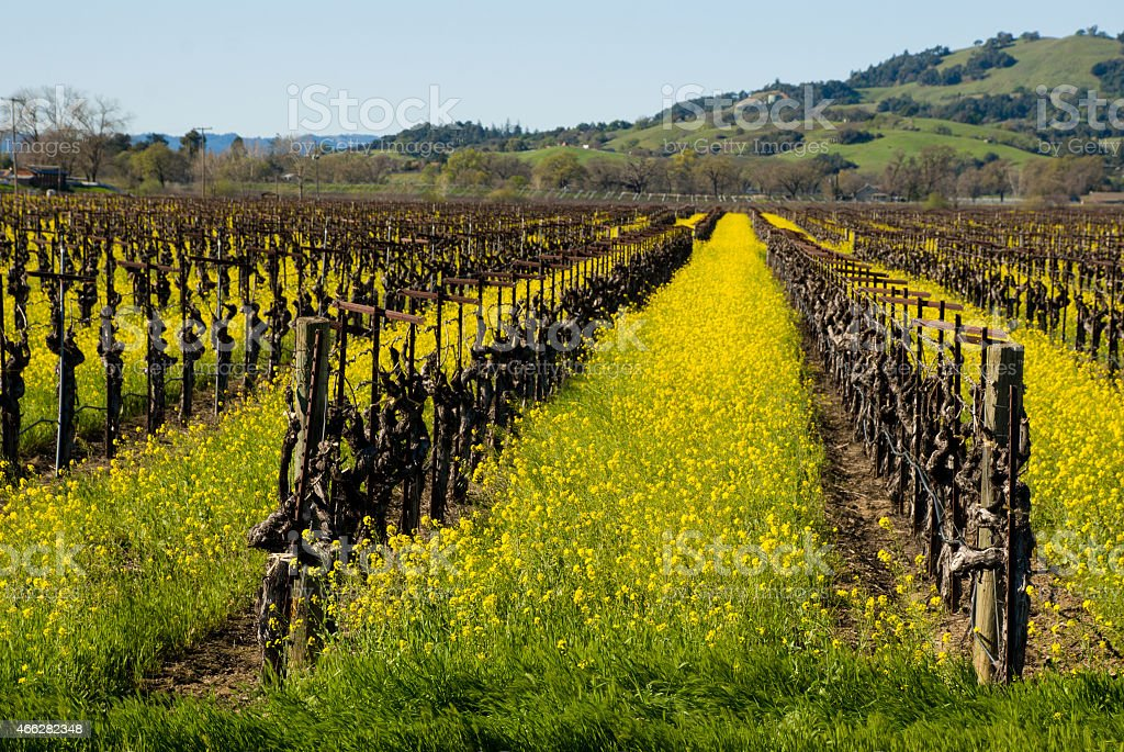Yellow Wildflowers and Vineyards Alexander Valley Sonoma County California stock photo