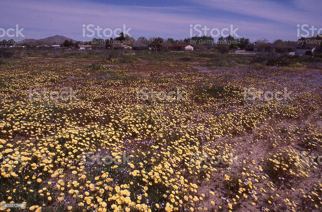 Yellow wildflowers fields near urban developments Palm Desert California stock photo