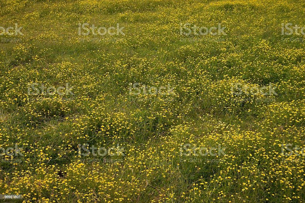 Yellow wildflowers royalty-free stock photo