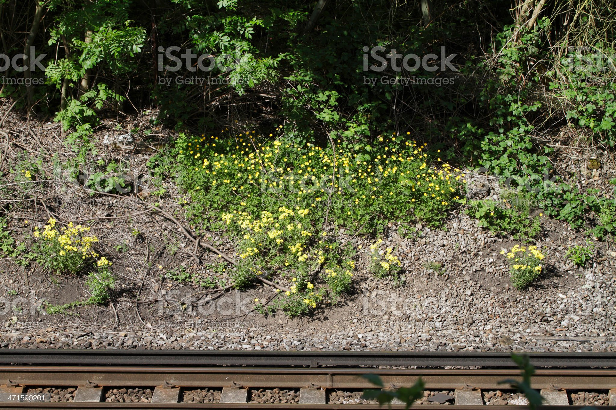 Railway embankment yellow with ragweed and buttercups royalty-free stock photo