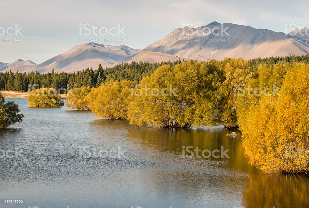 yellow willow trees in lake Tekapo in New Zealand in autumn stock photo