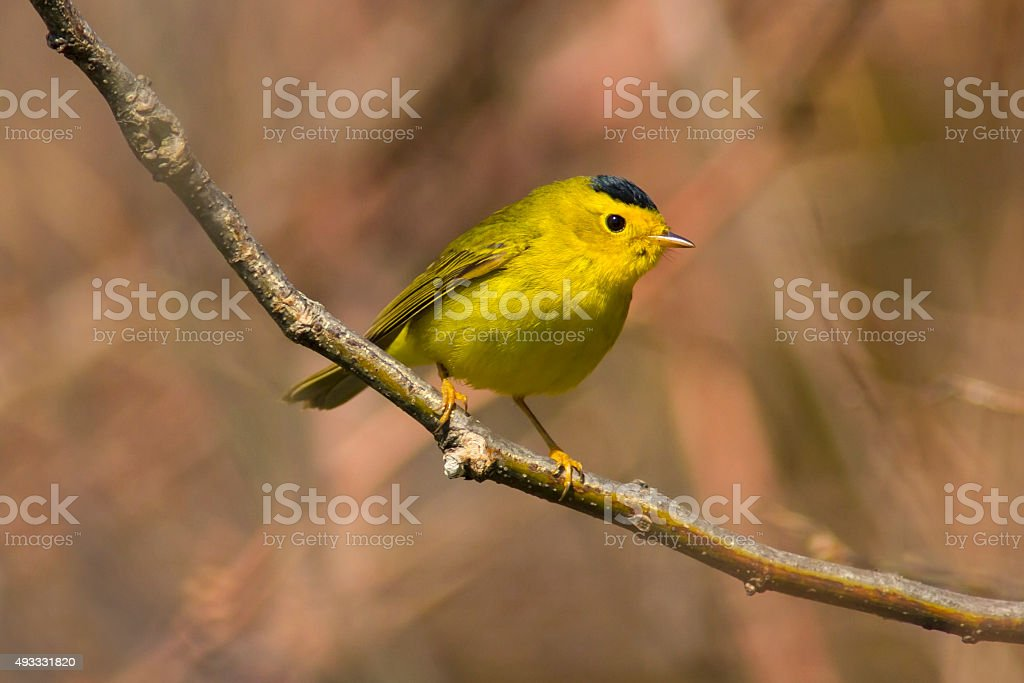 Yellow Wilsons warbler bird perched in a springtime forest stock photo
