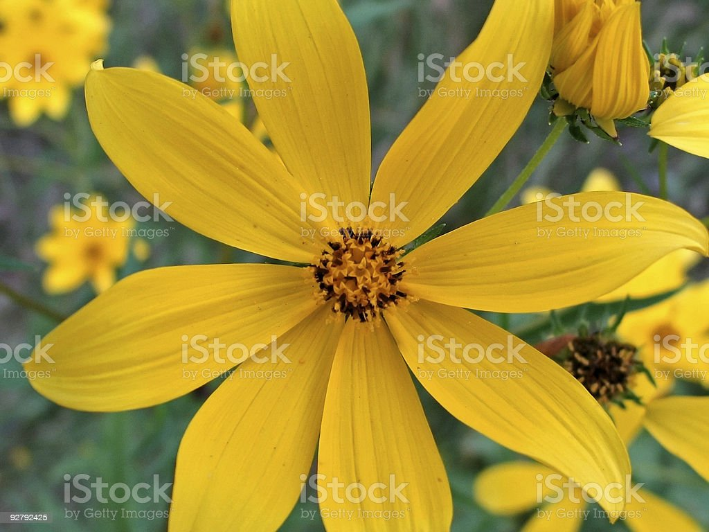 Yellow Wingstems royalty-free stock photo