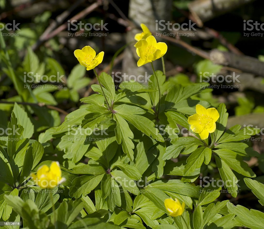 Yellow Wood Anemone (A. ranunculoides) royalty-free stock photo