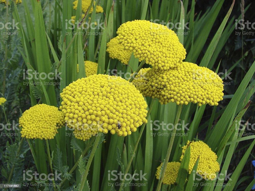 Yellow Yarrow - Achillea filipendulina stock photo