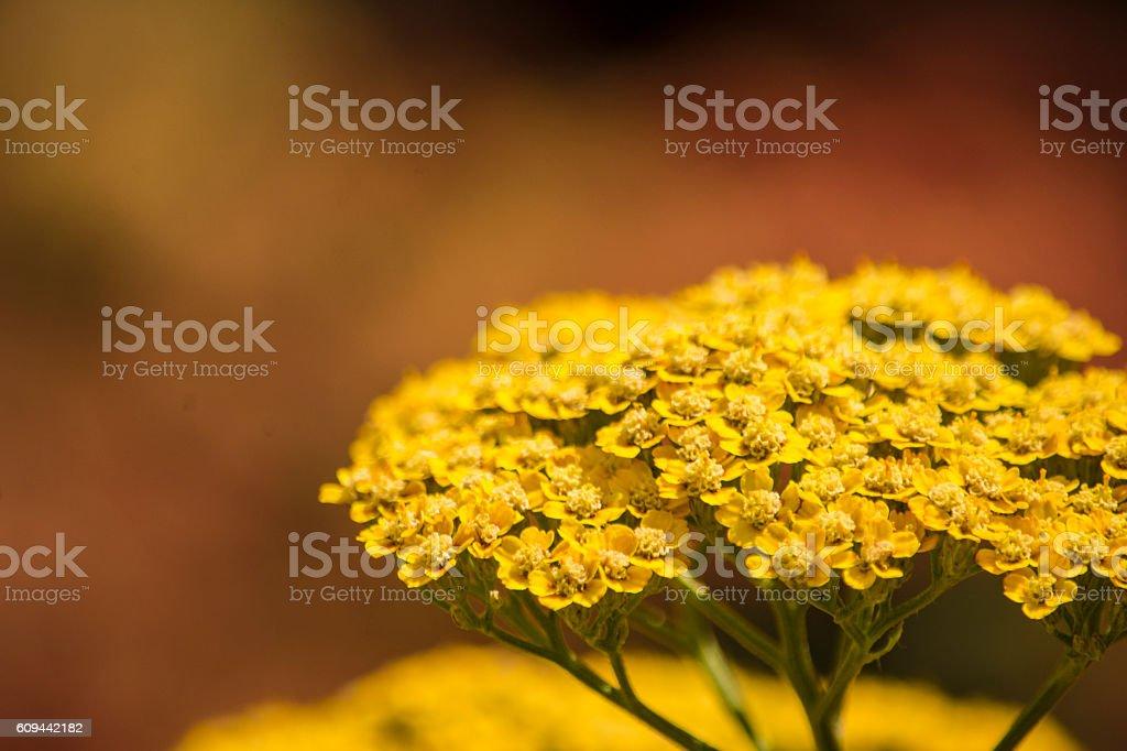 Yellow Yarrow Blooming in Autumn stock photo