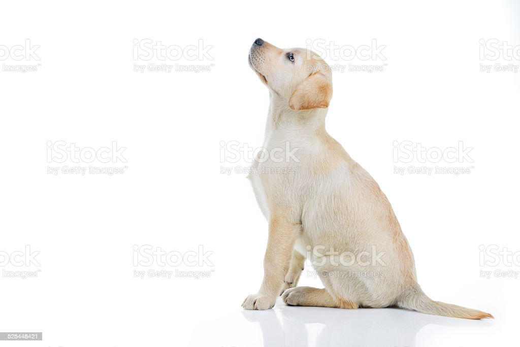 Yellow young labrador sitting stock photo