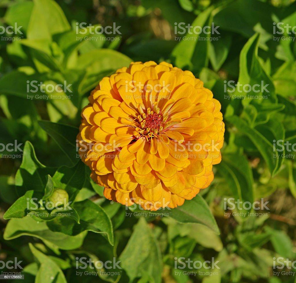Yellow  zinnia  flower stock photo