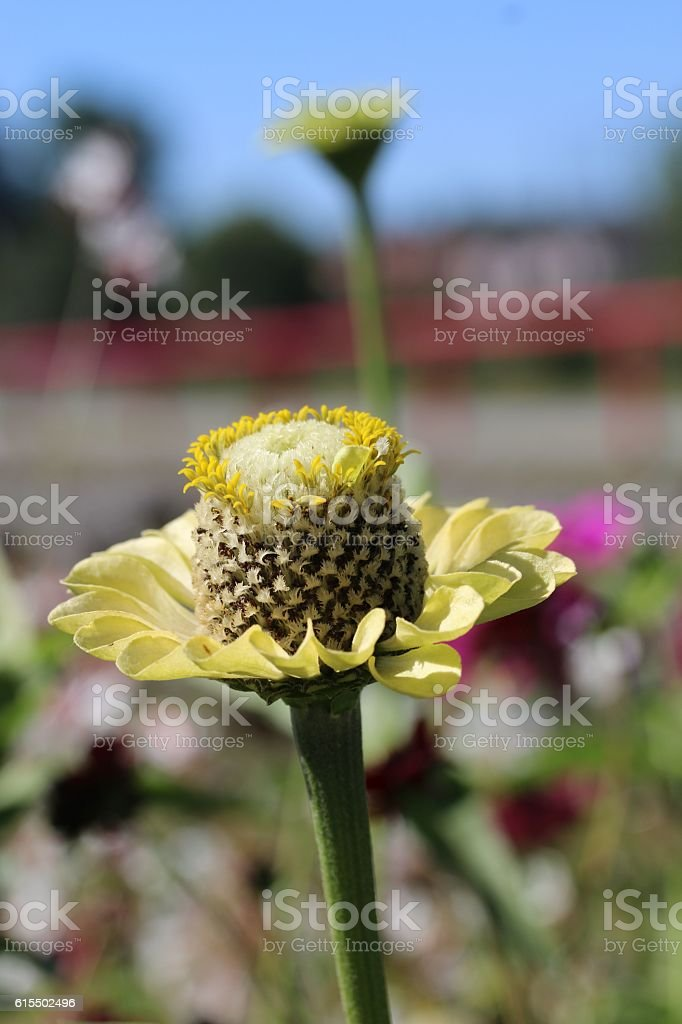 gelbe Zinnie (Zinnia elegans) stock photo