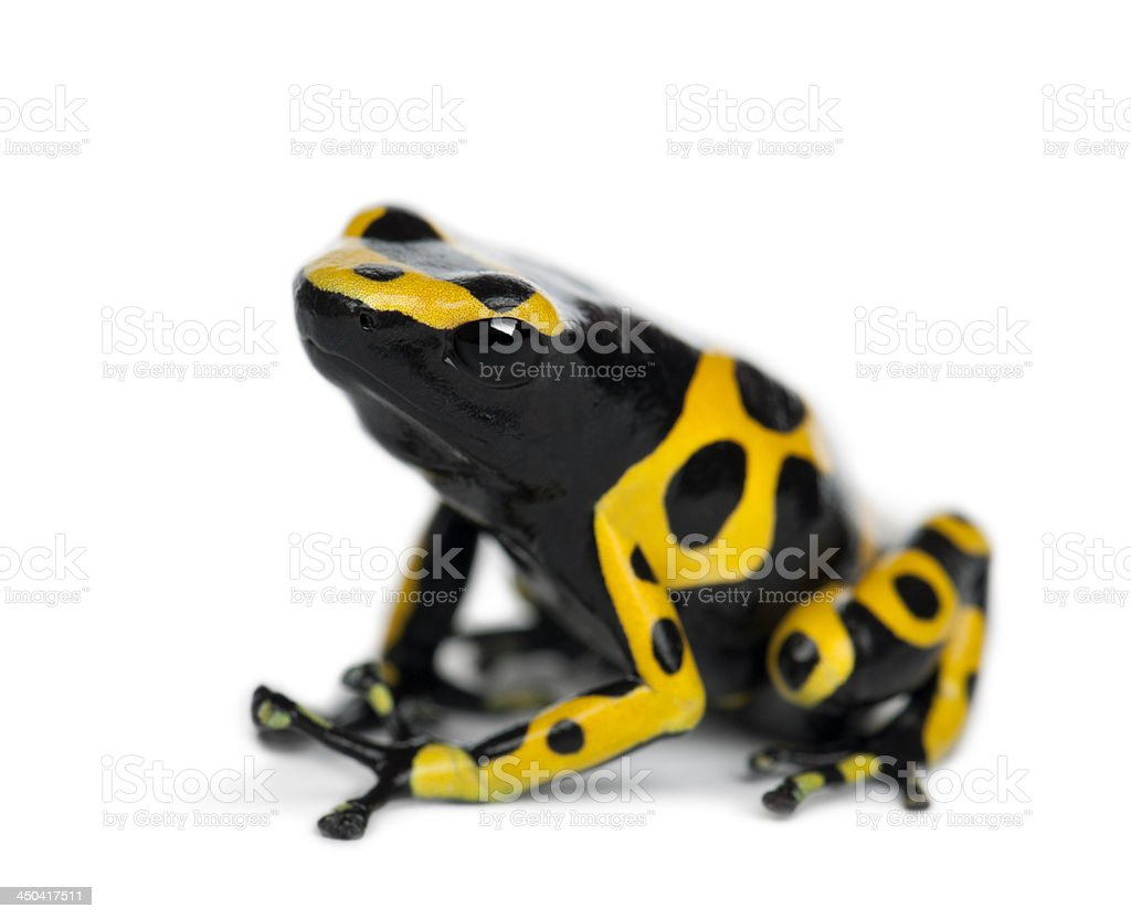 Yellow-Banded Poison Dart Frog, also known as a Yellow-Headed stock photo