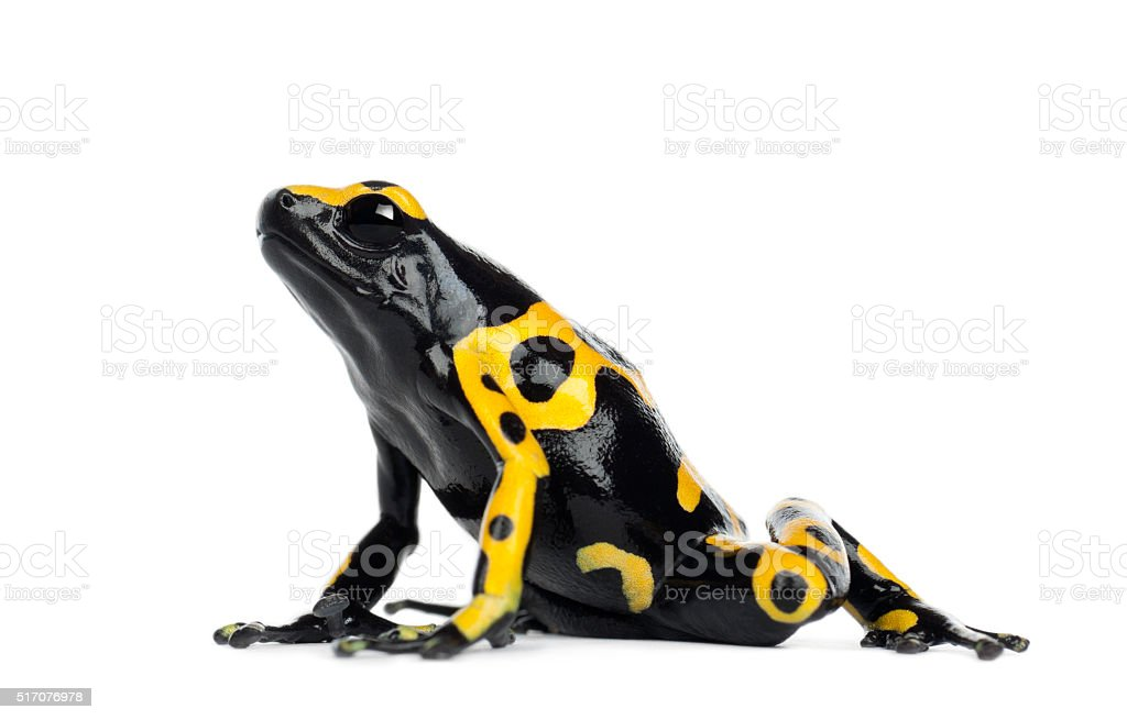 Yellow-Banded Poison Dart Frog, also known as Bumblebee Poison Frog stock photo
