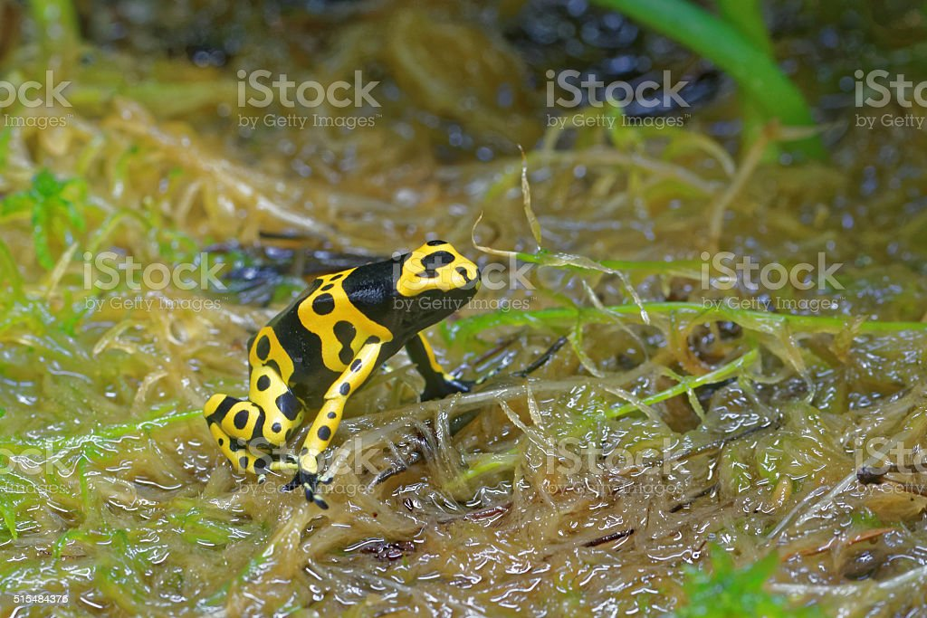Yellow-banded poison dart frog stock photo